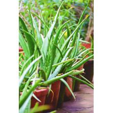 Aloe Vera Plant - Kattarvazha
